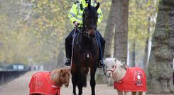 Metropolitan Police horses, Merlin and Quixote, were joined on patrol in central London by some special helpers, Teddy and Doris (Olympia Horse show/PA)
