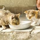 Street cats drinking milk from a bowl (HalfPoint/Getty Images)