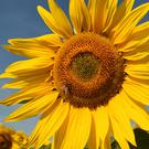 Sunflowers at Vine House Farm