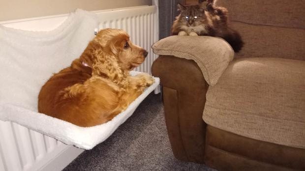 A dog sits in a cat's bed with the cat looking on