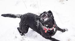 oppy the Labrador cross enjoys snow