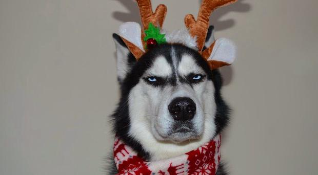 This grumpy husky is really not here for Christmas