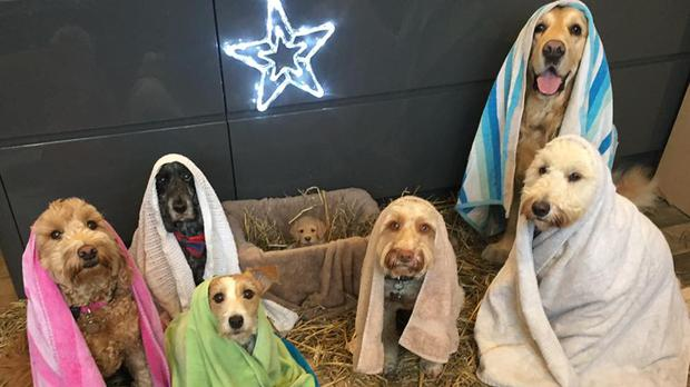 Nativity dogs.