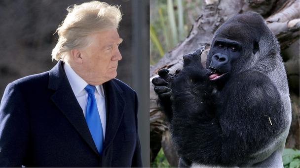 Donald Trump and a gorilla
