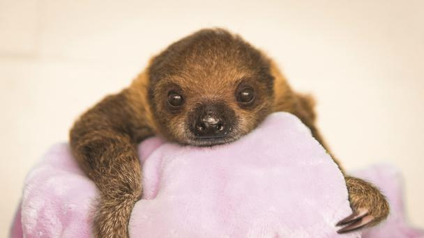 The baby sloth facing camera