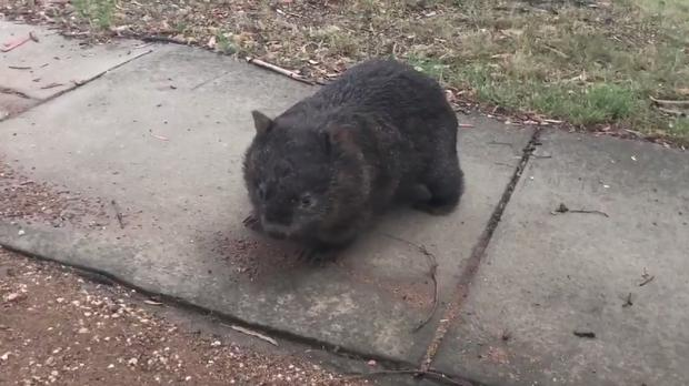 A wombat on the streets of Canberra in Australia - (@Jolene_Laverty/Twitter)