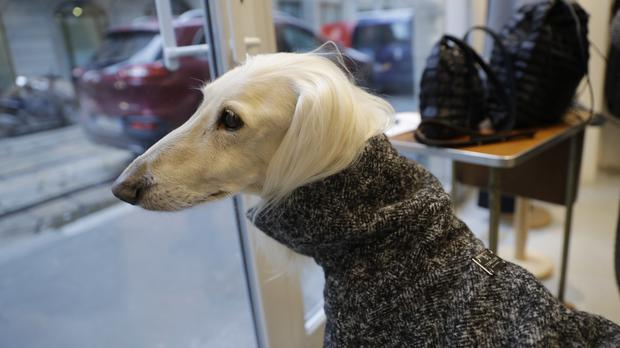 Ulisse, an Afghan greyhound, wears a coat created by designer Giovanna Temellini at the Temellini boutique (AP)