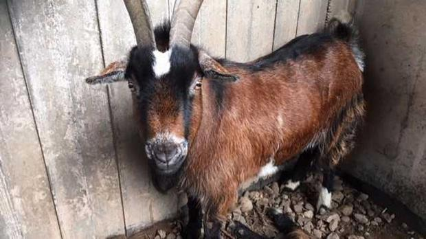 The rescued goat (RSPCA/PA)