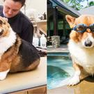 An Instagram user called Pax the Corgi 'so obese' (pcacorgis/Instagram)