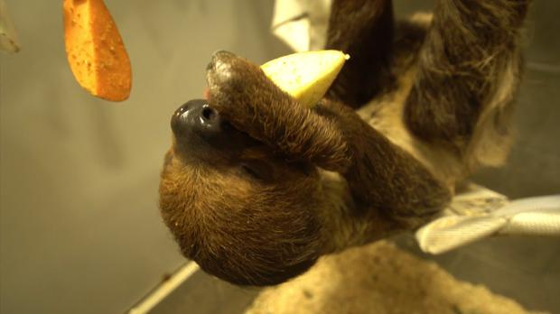 Josie the sloth eats apple at Oregon Zoo