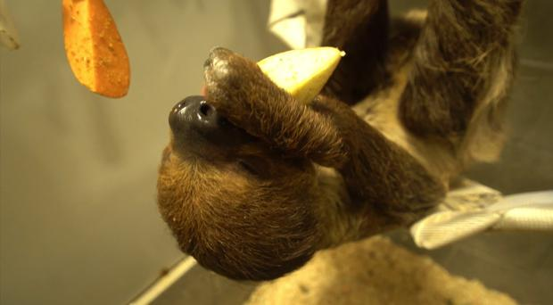 Watch: The look of pure joy on this sloth's face as she tucks into her food is very relatable