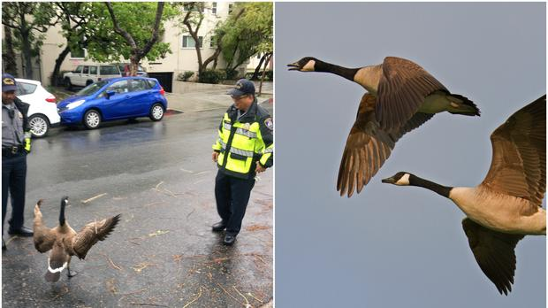 Goose blocks road in Beverly Hills