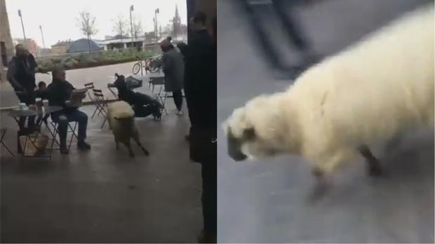 The sheep running in London