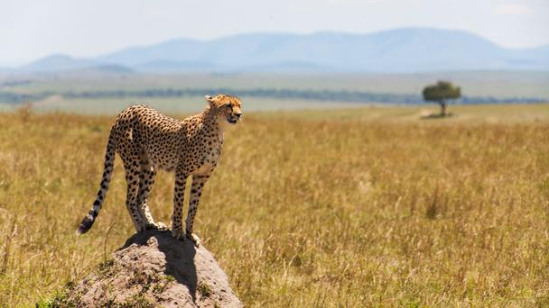 A cheetah (StanislavBeloglazov/Getty Images)