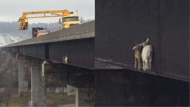 The goats stuck on the bridge with rescuers coming to save them (Pennsylvania Turnpike/Facebook)