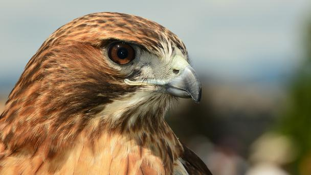 A close up head shot of a red tailed hawk.