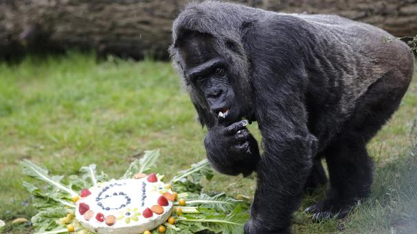 The female Gorilla Fatou eats a 'rice-cake' to celebrate her 61st birthday at the zoo in Berlin, Germany (Markus Schreiber/AP)