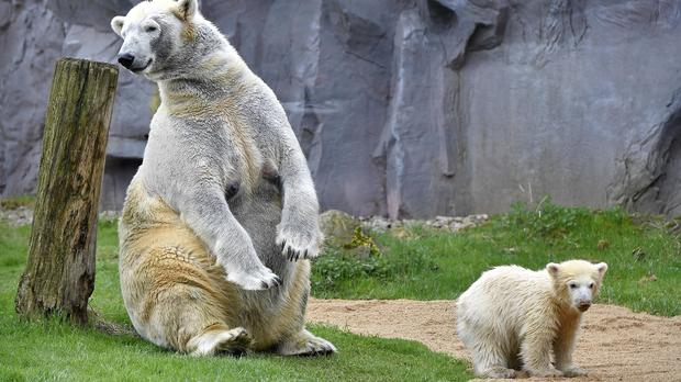 The little polar bear baby Nanook makes the first steps with her mother outside their cave (Martin Meissner/AP)