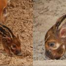 Newborn red river hog