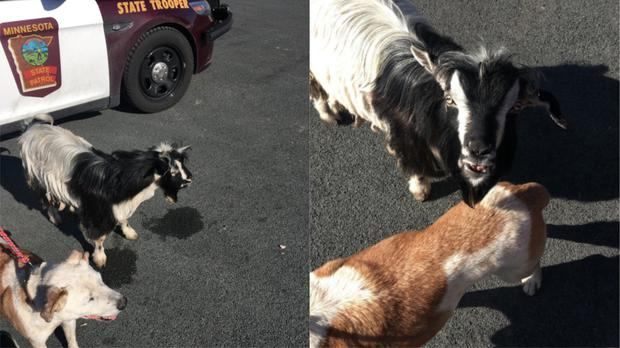 Dog and goat become friends after being picked up by Minnesota State Patrol
