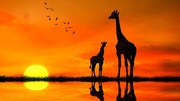 Silhouettes of two giraffes with reflection in lake water against African sunset (SIphotography/Getty Images)