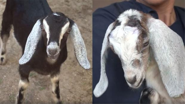 Two baby goats taken to Brevard Zoo (Brevard Zoo/PA)