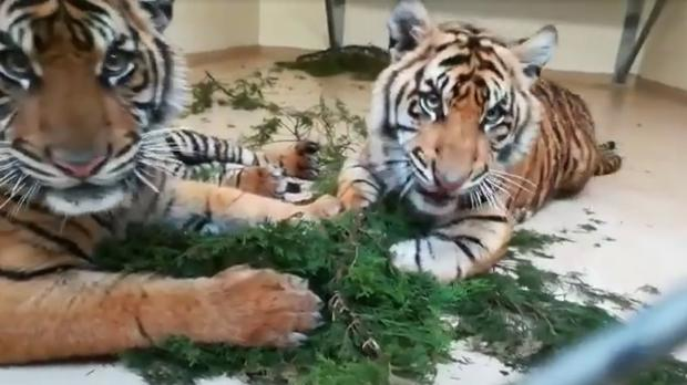Tigers Gusti and Ramah play with branches at the Oklahoma City Zoo (Oklahoma City Zoo)