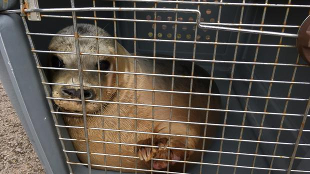 The seal was rescued in November after she became stuck between heavy rocks in Port Talbot (RSPCA/PA)