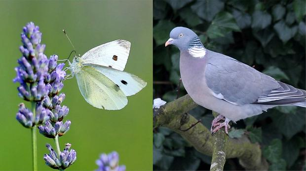 Butterfly and pigeon