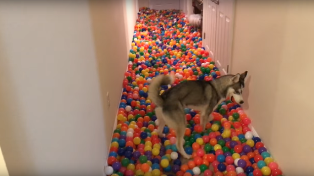 Husky Tetra in her ball pit (penguinz0/YouTube)