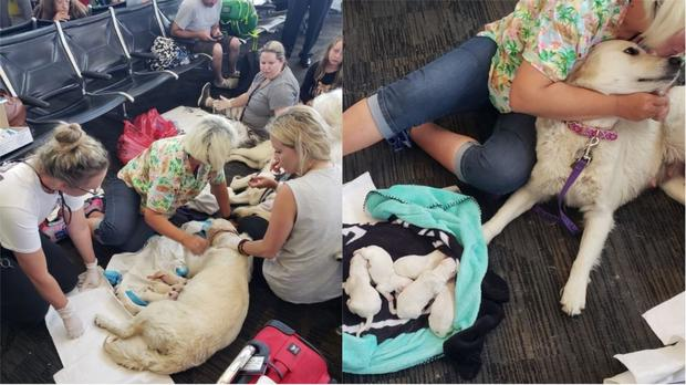 Ellie the Labrador gives birth to eight puppies at Tampa Airport (Tampa Fire Rescue/PA)