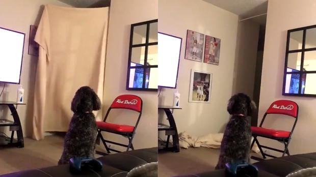 A dog takes part in the #WhatTheFluffChallenge – (@oliviadoerr/Twitter)