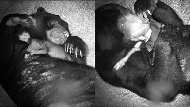 The cute video of the bear's first moments now has over 94,000 views (Chester Zoo)