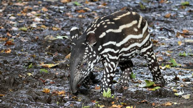 Baby tapir (Anolis01/Getty Images)