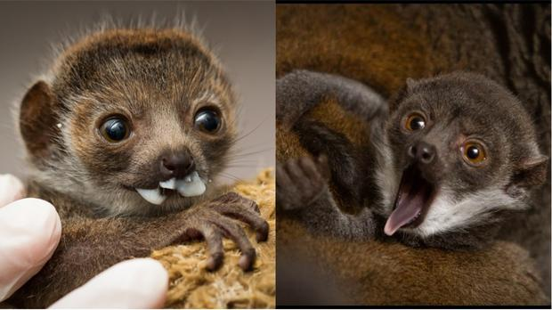 Princess Buttercup, the baby mongoose lemur (Ethan Riepl/Saint Louis Zoo)