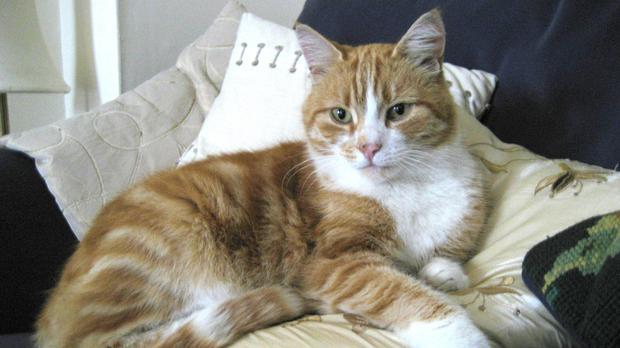 A ginger-and-white cat (PA)