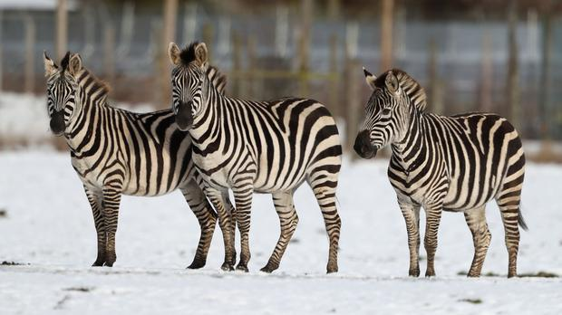 Scientists believe that the zebra's black and white fur works as an 'optical protection' against insects (Andrew Milligan/PA)