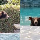 The bear took a swim in an LA pool (LAPD Devonshire Community Police Station)