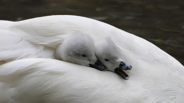 Keepers at the zoo have given the cygnets a quick health check (Newquay Zoo)