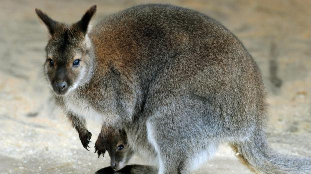 The wallaby is still on the loose (Rui Vieira/PA)