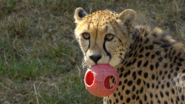 A cheetah holding a ball in its mouth (Michael Durham/Oregon Zoo)