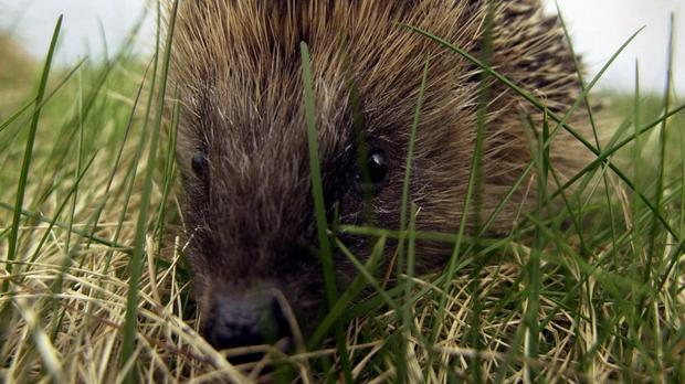 Researchers have said hedgehogs, which are increasingly having to move to urban areas, are now present in just a fifth of the countryside (stock picture)