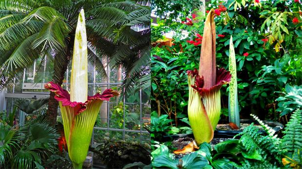 Chemicals analysed in the corpse flower have also been found in cheese, rotting fish, and sweat (amedved and Allison Cherry/Getty Images)