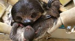The baby sloth with mum Lily (Minnesota Zoo/PA)