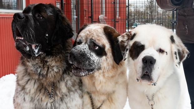 A trio of giant dog siblings who can't be separated are