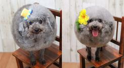 Two dogs who have been groomed to look spherical (yorikokoro/Instagram)