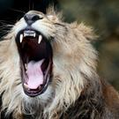 A lion roars at Bristol Zoo – (David Davies/PA)