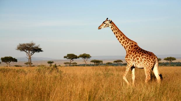 Silent extinction: Giraffe numbers have been falling 'for years now'