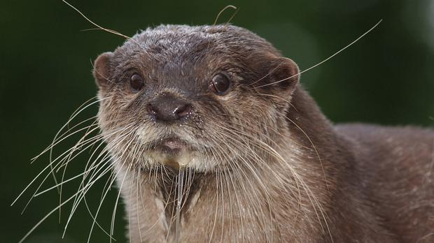 An otter, as it was revealed the original tweet about Abby has been liked nearly 20,000 times since it was posted (Kirsty Wigglesworth/PA)