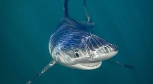 A great white shark thought to be Deep Blue - the biggest great white in the world - has been spotted off the coast of Hawaii in a rare-sighting that was a